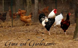 Love my chickens and the eggs they produce!