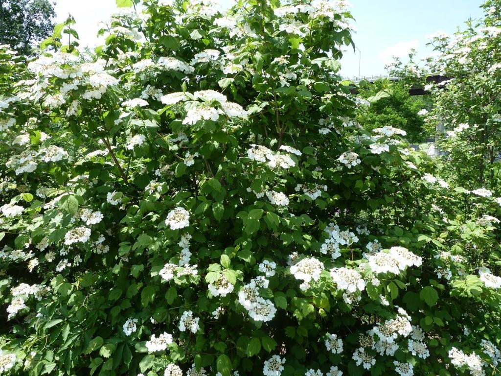 ornamental cranberry bush