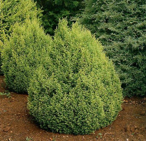 Medium Of Gold Mop Cypress