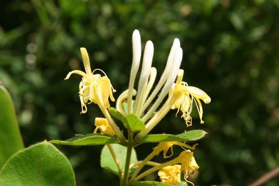 金銀花-花18