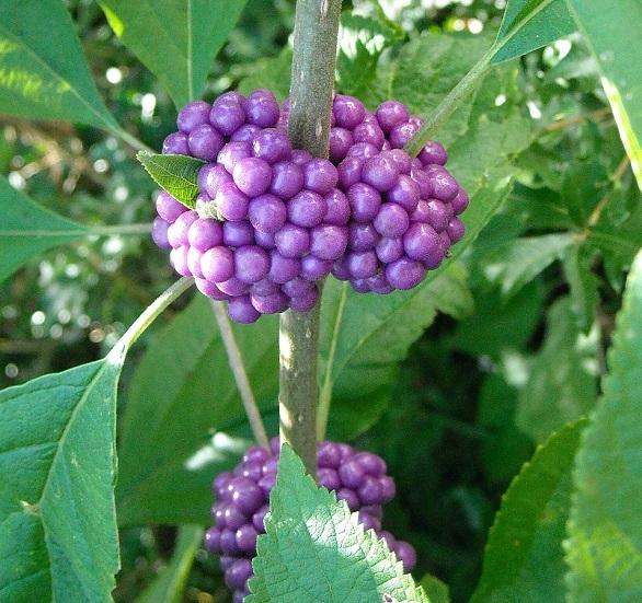 Purple Fall Wallpaper American Beautyberry Jelly Garden Org