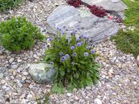 Rock Gardens forum: Self-sowing plants in the rock garden ...
