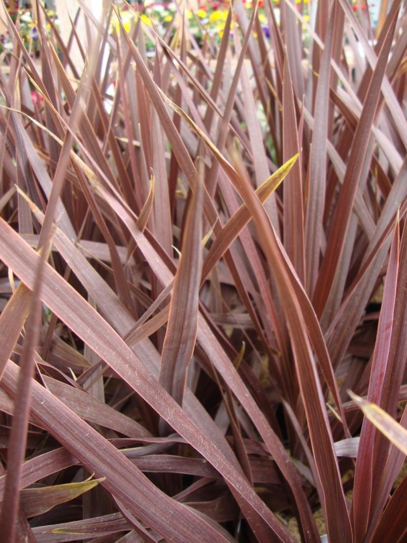 Large Of Cordyline Red Star