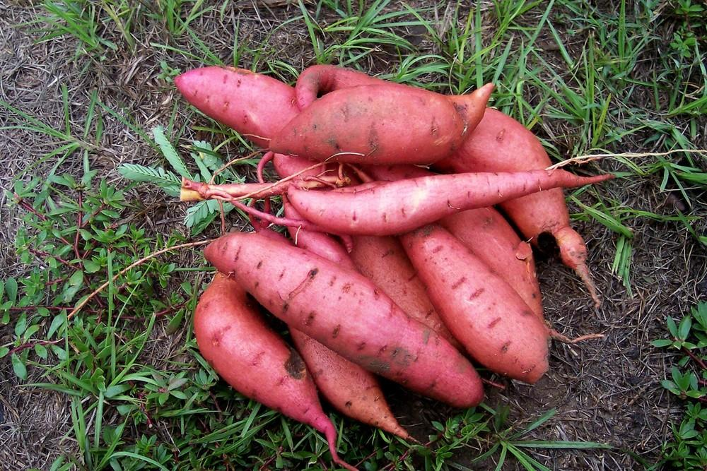Sweet Potatoes Plant Care And Collection Of Varieties