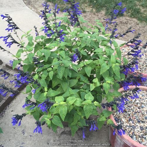 Medium Of Black And Blue Salvia
