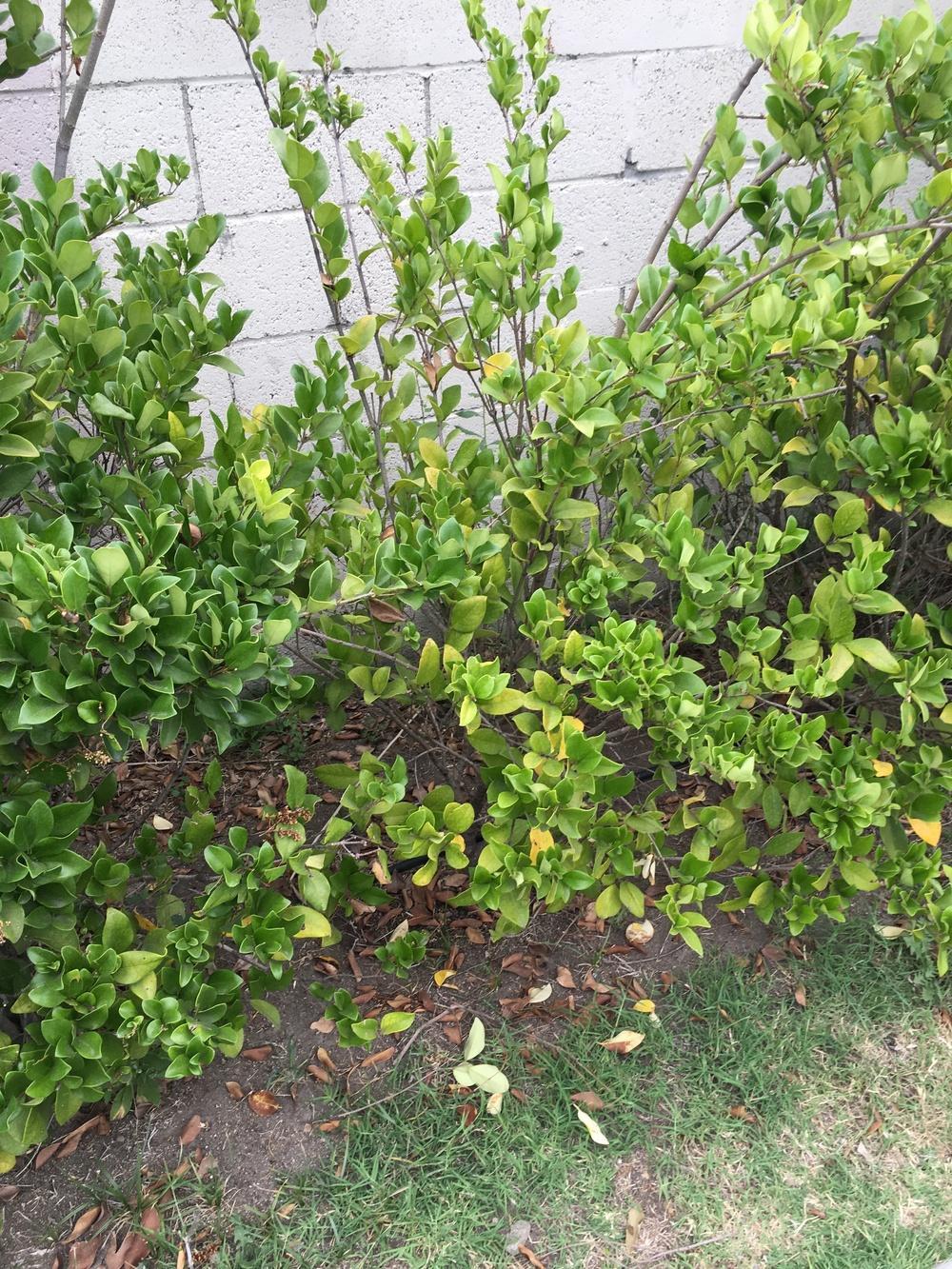 Fullsize Of Wax Leaf Ligustrum