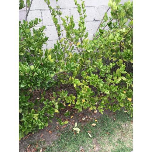 Medium Crop Of Wax Leaf Ligustrum