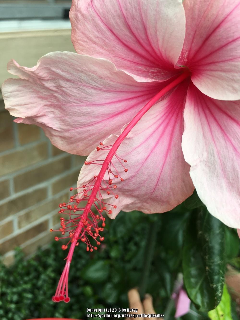 Fullsize Of Hidden Valley Hibiscus