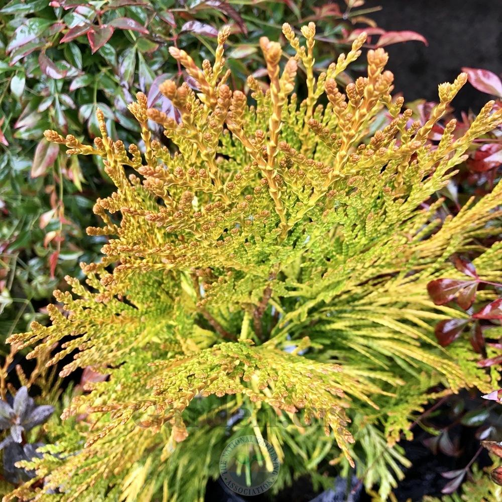 Thuja Yellow Ribbon Height Western Arborvitae Thuja Plicata Forever Goldy In The