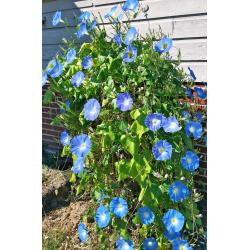 Small Crop Of Heavenly Blue Morning Glory