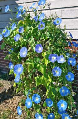 Small Of Heavenly Blue Morning Glory
