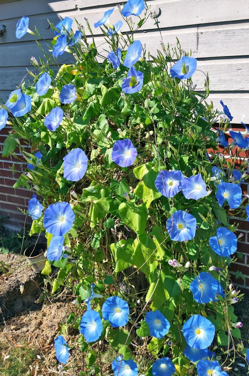 Large Of Heavenly Blue Morning Glory