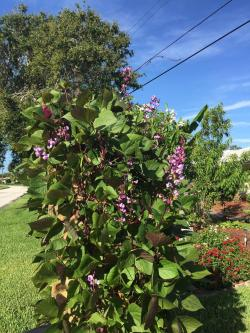 Picture Thumb Plant Id Vine Identification Hyacinth Bean Vine Zone 5 Hyacinth Bean Vine Trellis