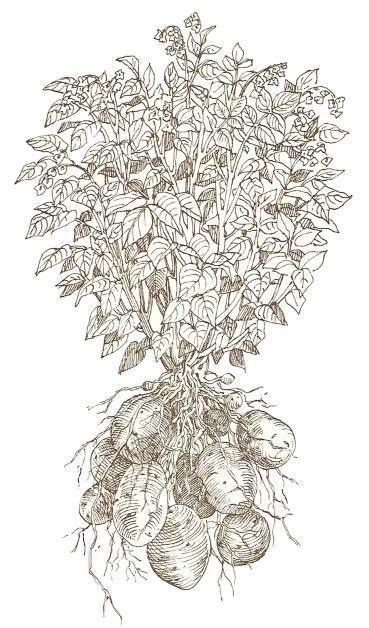 How Potatoes Grow - Gardenorg