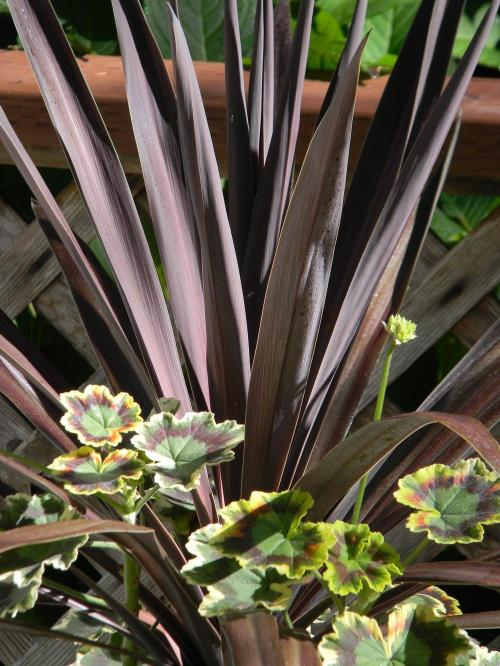 Manly Leaves Photo Cabbage Tree Australis Uploaded Bysherriraye Photo Cabbage Tree Australis Star Cordyline Red Star Height Cordyline Red Star Winter Care