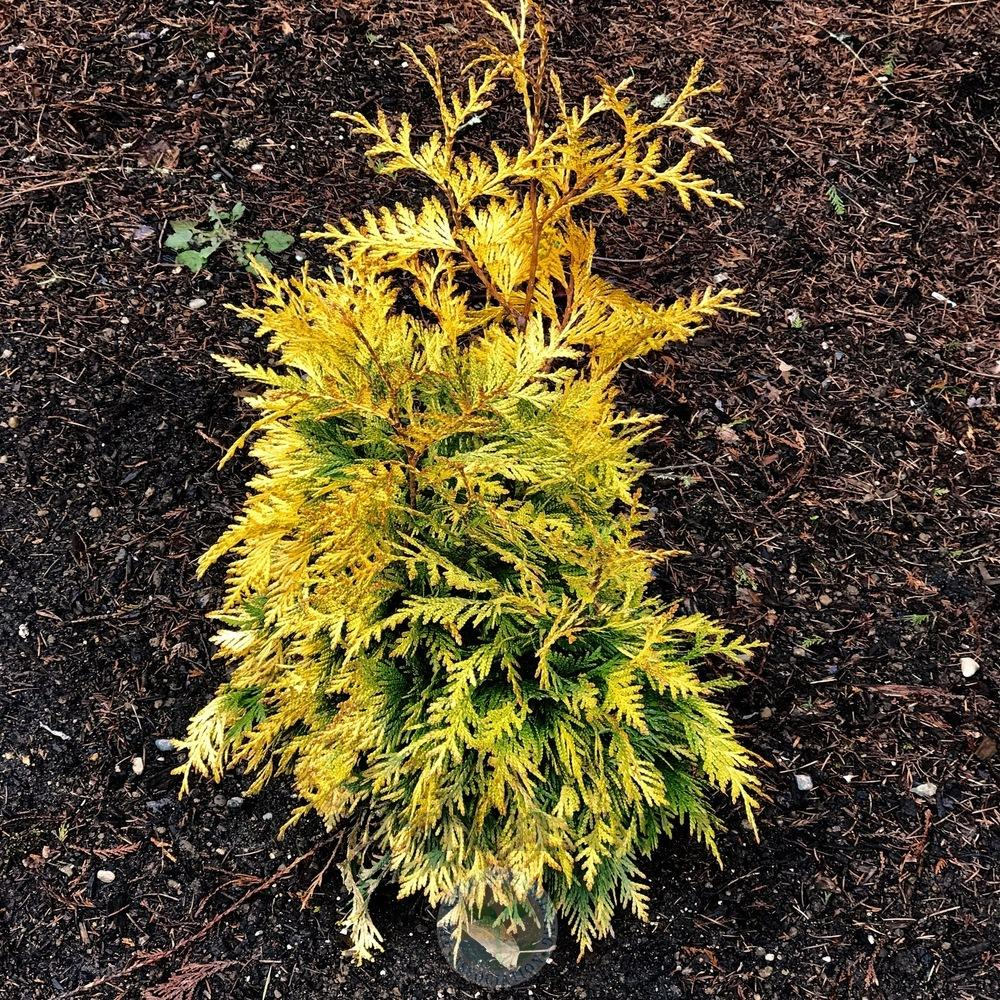 Thuja Yellow Ribbon Height Arborvitaes Plant Care And Collection Of Varieties Garden Org