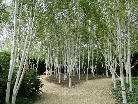 Silver birch trees or ginko gardenandalus for Silver birch trees for small gardens