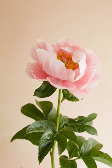 Minh Ngoc X Growing Peonies - How To Plant & Care For Peony Flowers