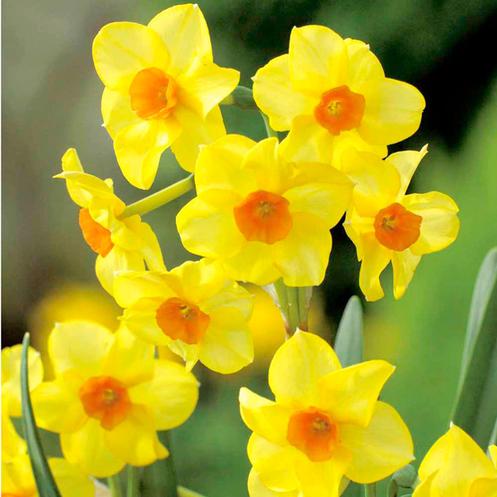 Daffodils Wallpaper Hd Daffodil Scented Collection All 5 Scented Varieties