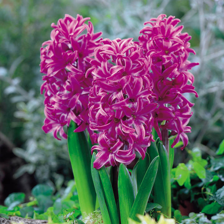 Violet Flower Hd Wallpaper Hyacinth Bulbs Purple Sensation Dobies