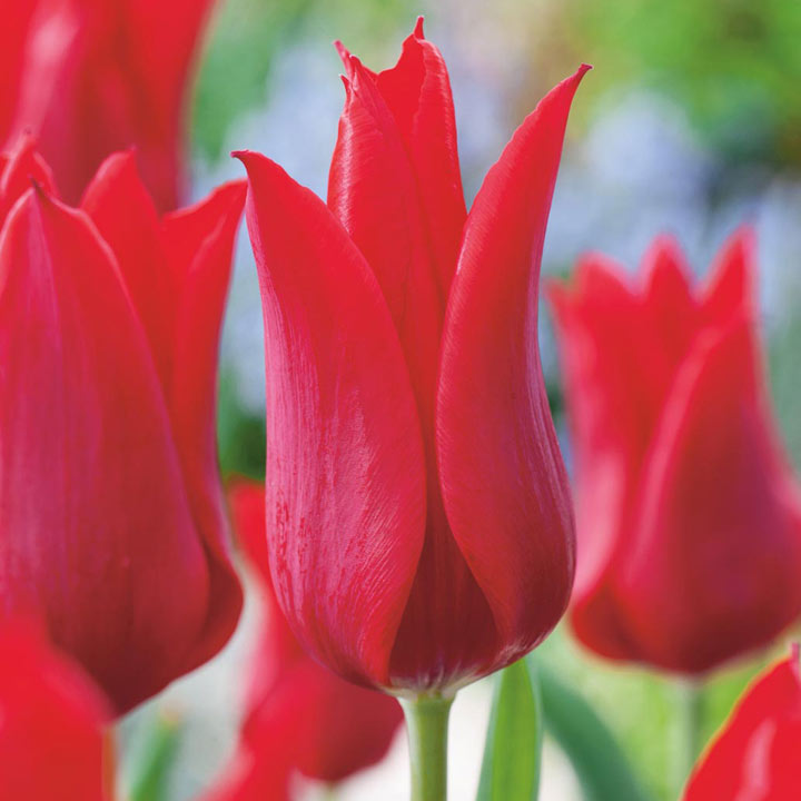 Tulips Flower Uk Tulip Bulbs - Red Collection - Dobies