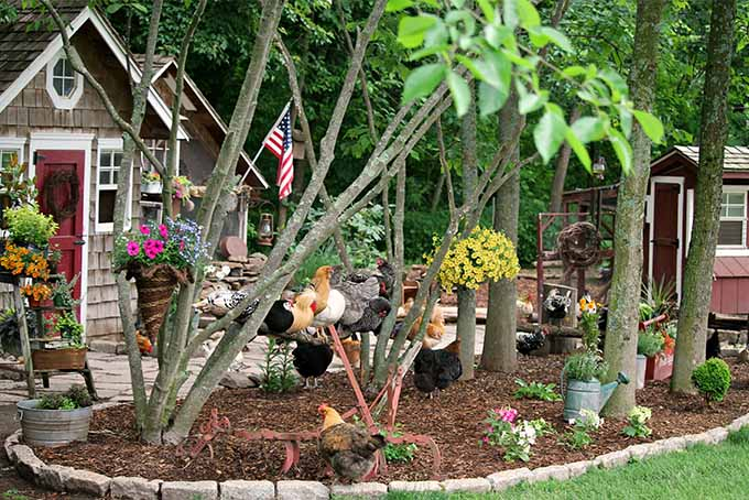 Chickens in the Garden What You Need to Know Gardener\u0027s Path