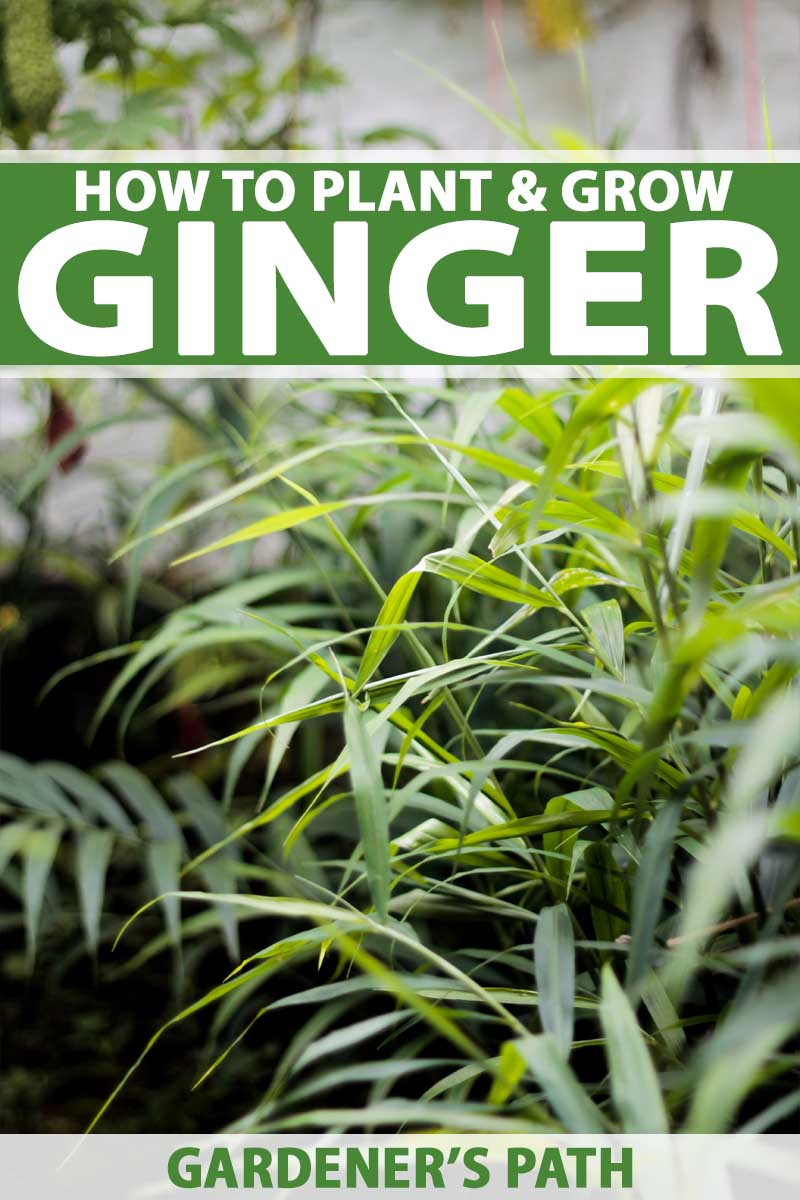 Home Garden How To Plant And Grow Ginger In Your Home Garden Gardener S Path