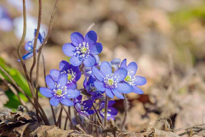 11 Native Blue Flowers for the Garden Gardener\u0027s Path