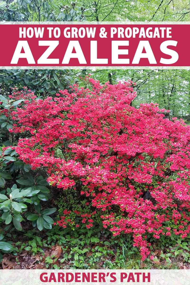 Garden Trees How To Grow And Propagate Azalea And Rhododendron Gardener S Path