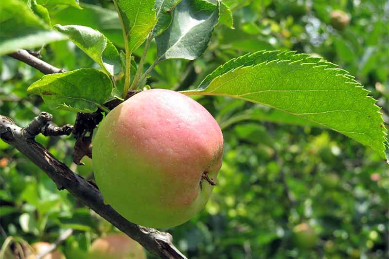 19 Best Apple Tree Varieties (with a Guide to Flowering Groups
