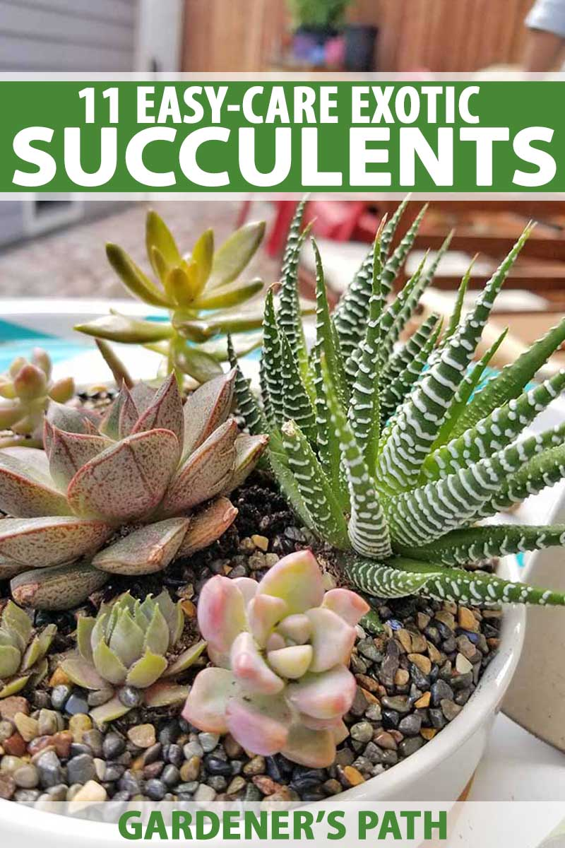 Unusual House Plants For Sale 11 Best Easy Care Exotic Succulents To Grow At Home Gardener S Path