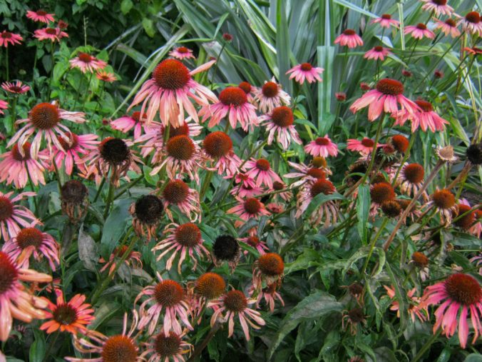 What's not to love? The heavenly pink-petalled cones of Echinacea.