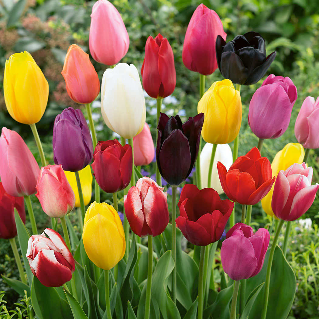 Tulip Regular Mixed Garden Express