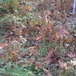 """Potato """"plot"""" on the ground.  Many roots from neighboring blackberries made for difficult harvest."""