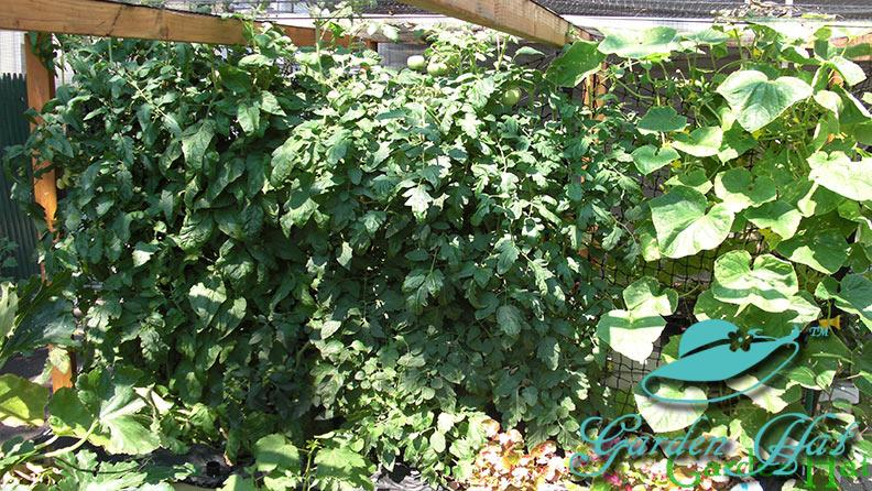 Garden Vegetables Grown in Sub-Irrigated Buckets