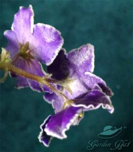 This is powdery mildew on the flowers of an African Violet, Optimara.