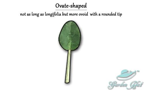 Garden Hat - African Violet Leaf Types - Ovate-shaped