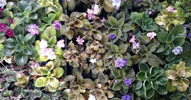 African Violet Leaf Types