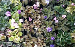 Garden_Hat_All_Types_African_Violets