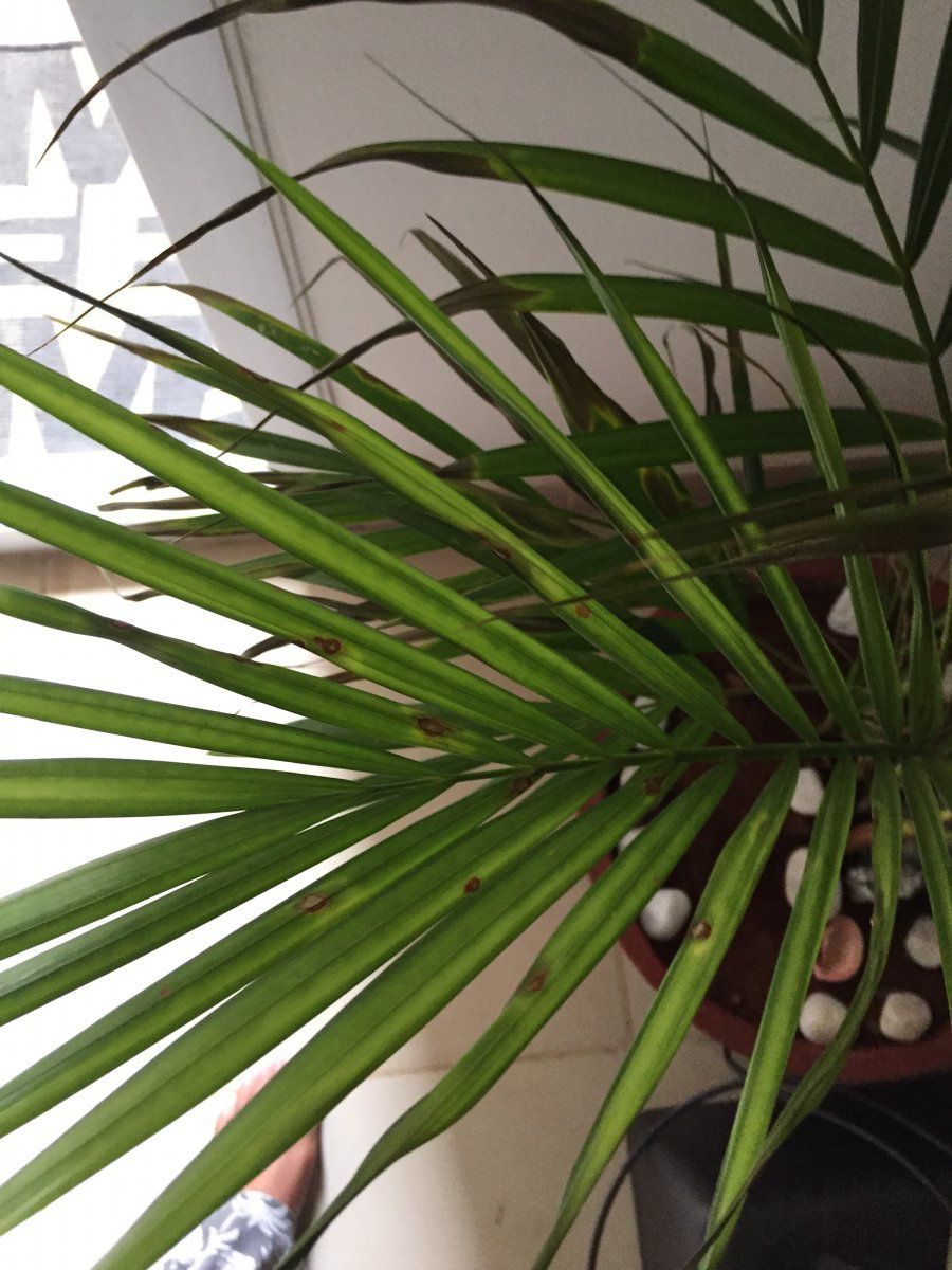 Areca Palms Leaves Turning Black With Yellowish Brown Spots Need Help Gardening Forums