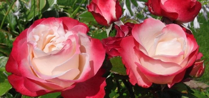 roses-377403_960_720