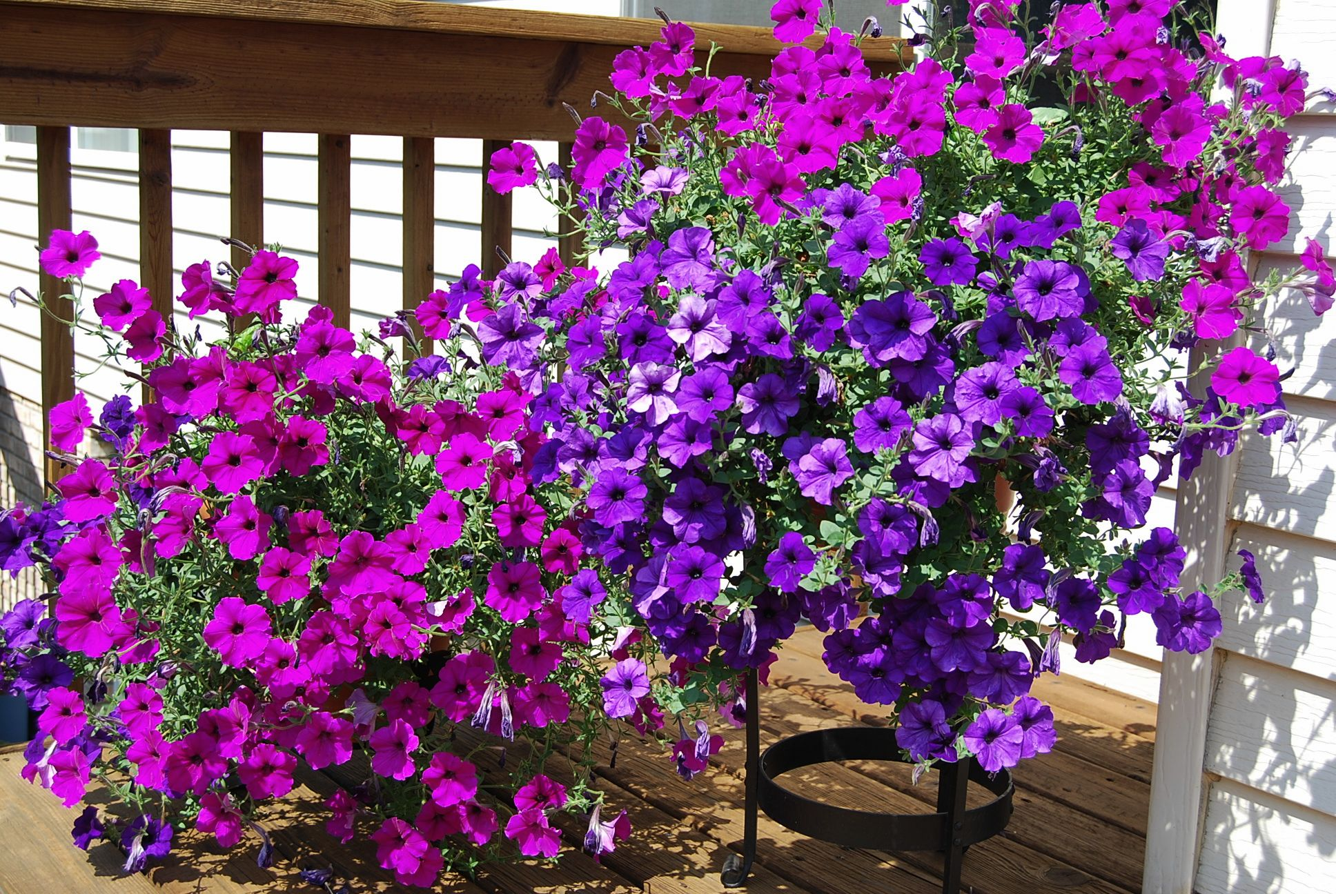 Balkonblumen Viel Sonne Plant Of The Month: Trailing Petunias | Gardening In The Mud