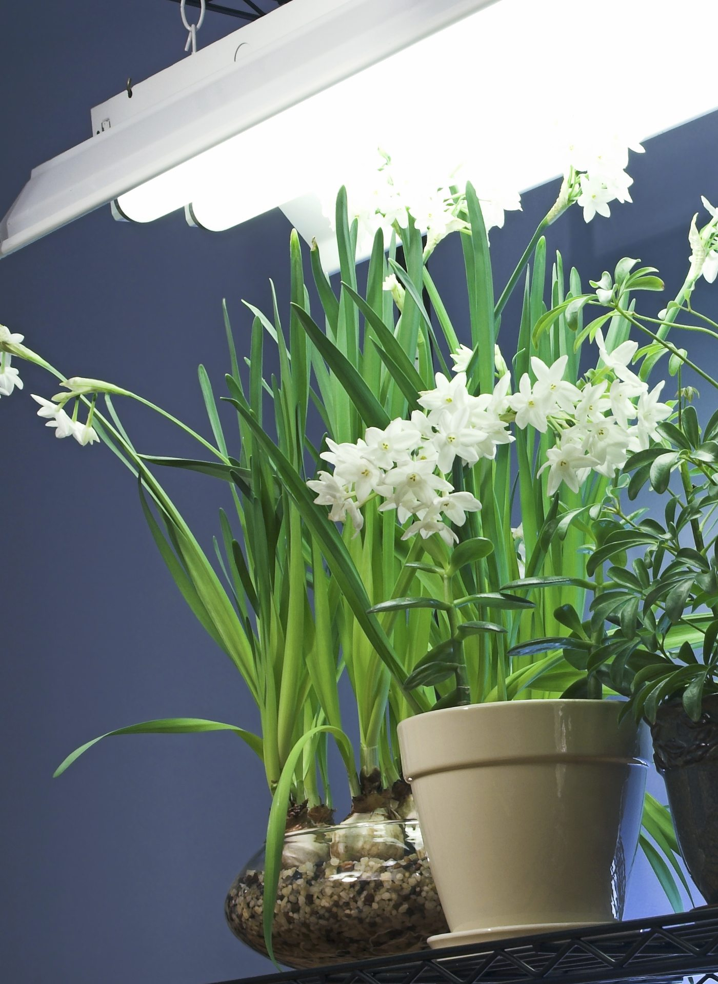 Grow Lights For Indoor Plants Fluorescent Lighting For Indoor Gardening Gardening Know How