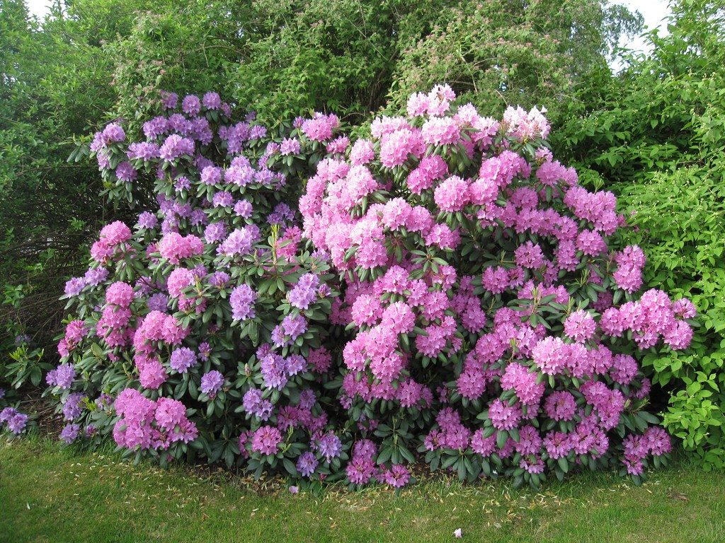 Azalea In Giardino Common Problems Of Rhododendron Learn About Rhododendron