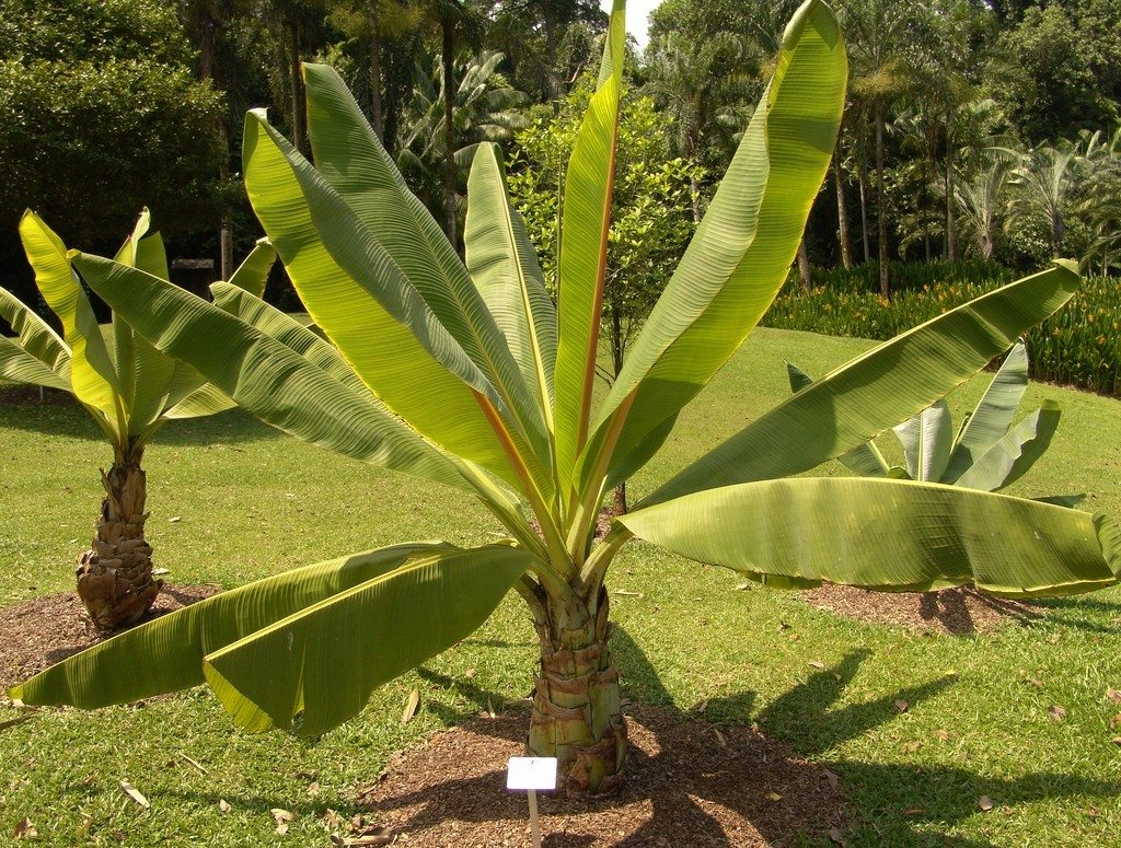 Plante Exotique Exterieur Ensete Ventricosum Cultivation Learn About False Banana