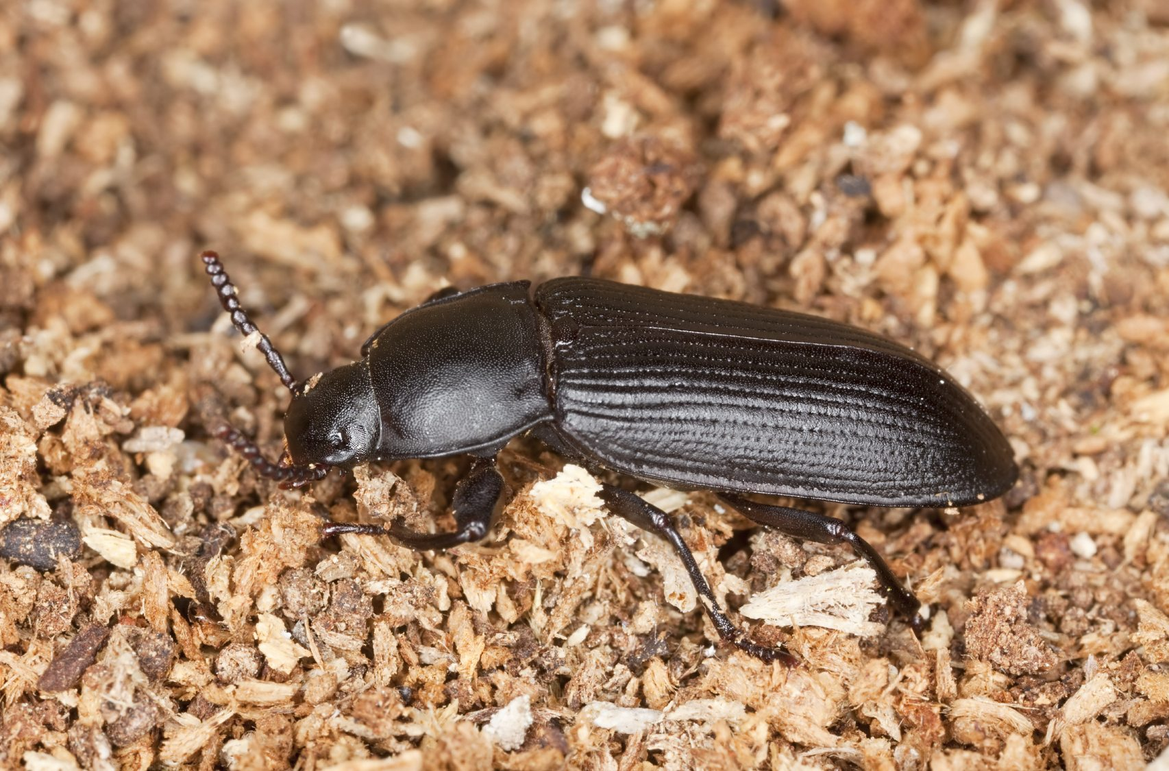 Tierische Schädlinge In Der Küche Identification Of Darkling Beetles Learn About Darkling