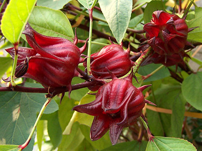 Roselle - University of Florida, Institute of Food and Agricultural