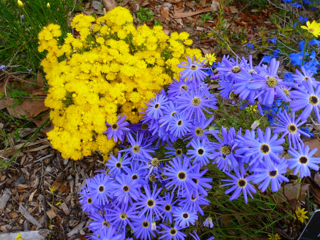 Blue Flowers Australia Anguss Top Ten Australian Plants For Colour Gardening