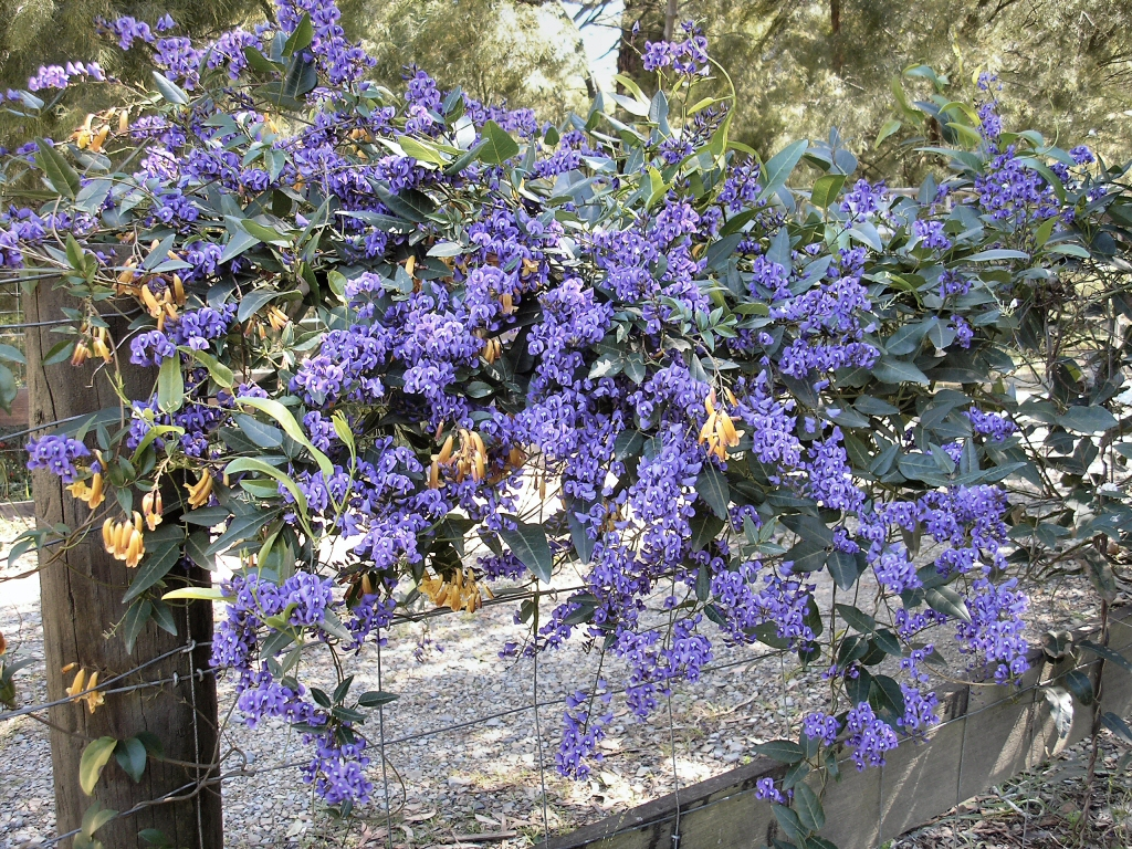 Blue Flowers Australia Australian Native Climbers And Creepers Gardening With Angus