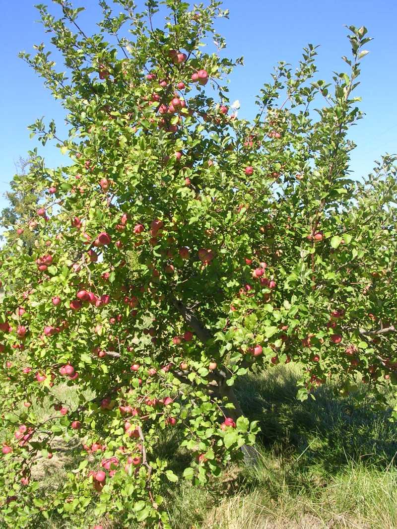 Large Of Honeycrisp Apple Tree